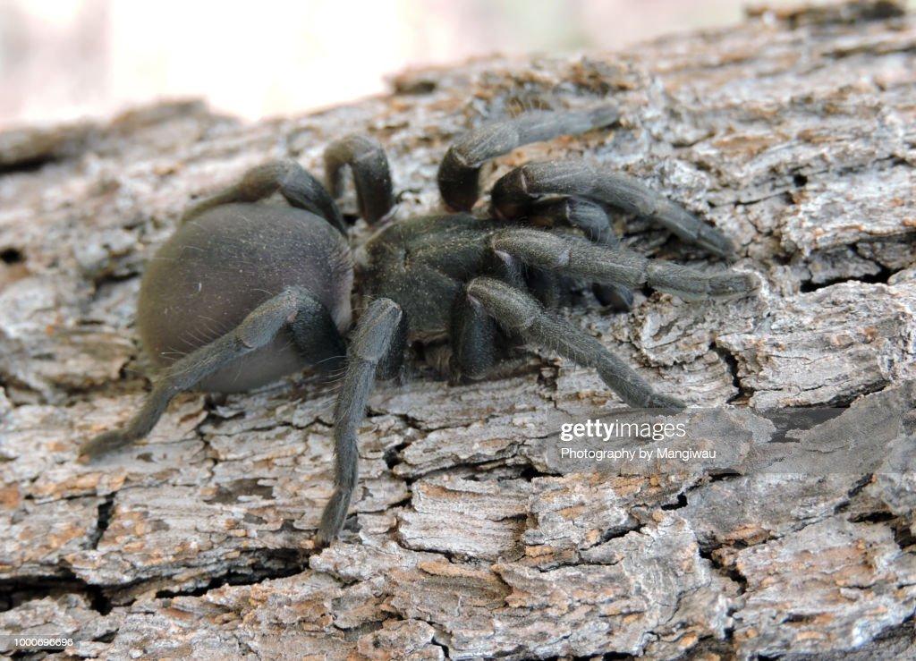 Funnel Web Spider : Stock Photo