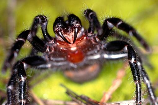 Funnel-Web Spider 1094246602