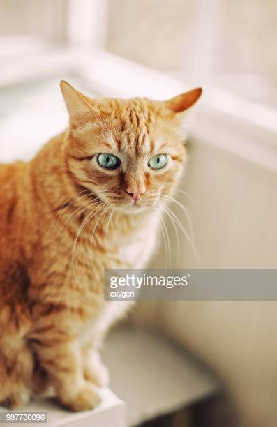 Funny Angry Ginger cat