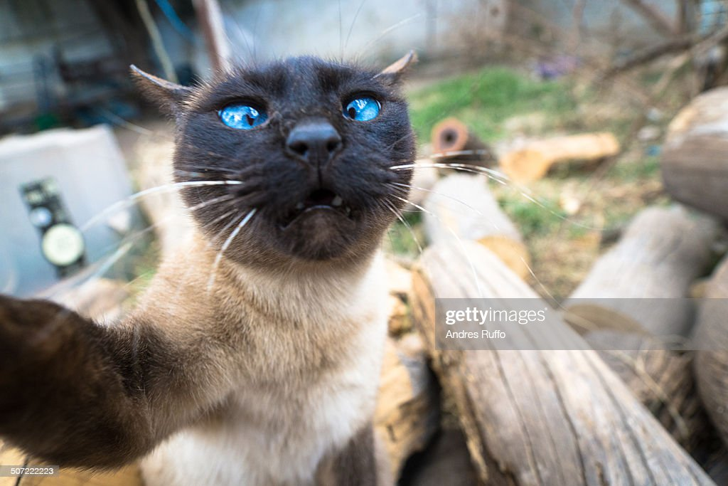 Siamese cat makes a selfie looking at the camera