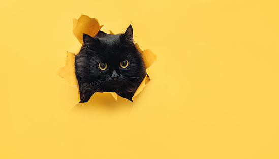 Funny black cat looks through ripped hole in yellow paper. Peekaboo. Naughty pets and mischievous domestic animals. Angry look. 1150719858