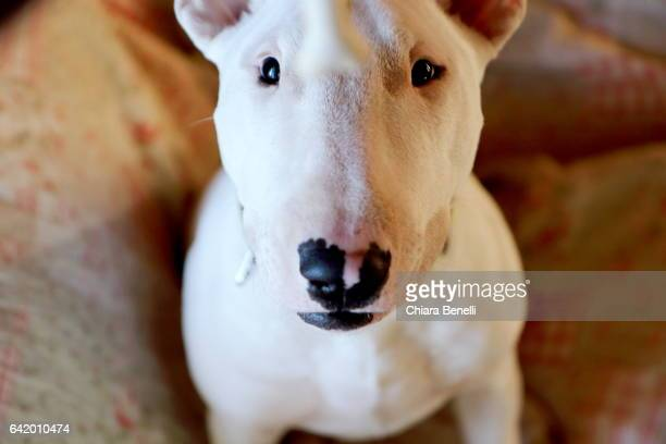 funny bully - bull terrier stock photos and pictures