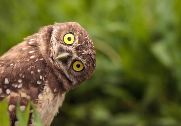 Funny Burrowing Owl Athene Cunicularia - Fine Art prints