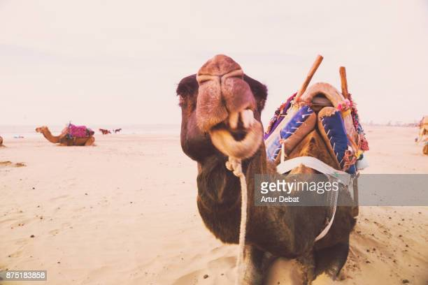 Funny camel making faces while eating resting in the sand dunes of the Essaouira beach during travel vacations in Morocco.