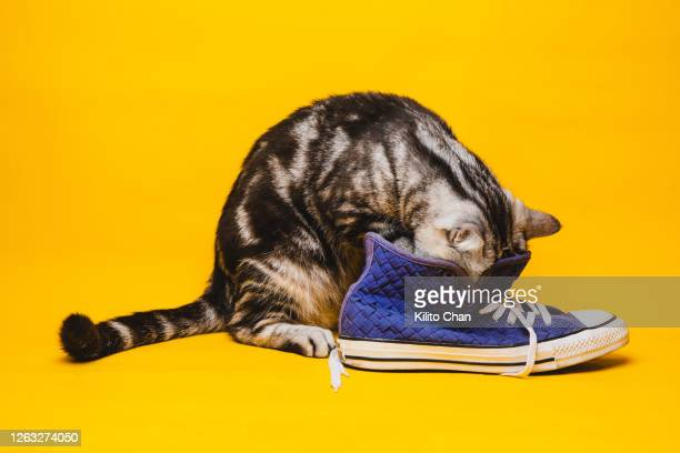 funny cat playing with a blue canvas shoe - unpleasant smell stock pictures, royalty-free photos & images