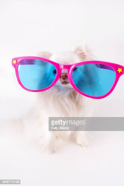 Funny Chihuahua Puppy Wearing Giant Oversized Sunglasses