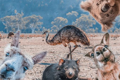 Funny collage of animals living in Australia - Emu, Koala, Kangaroo, Tasmanian Devil, and Alpaca 1051065648