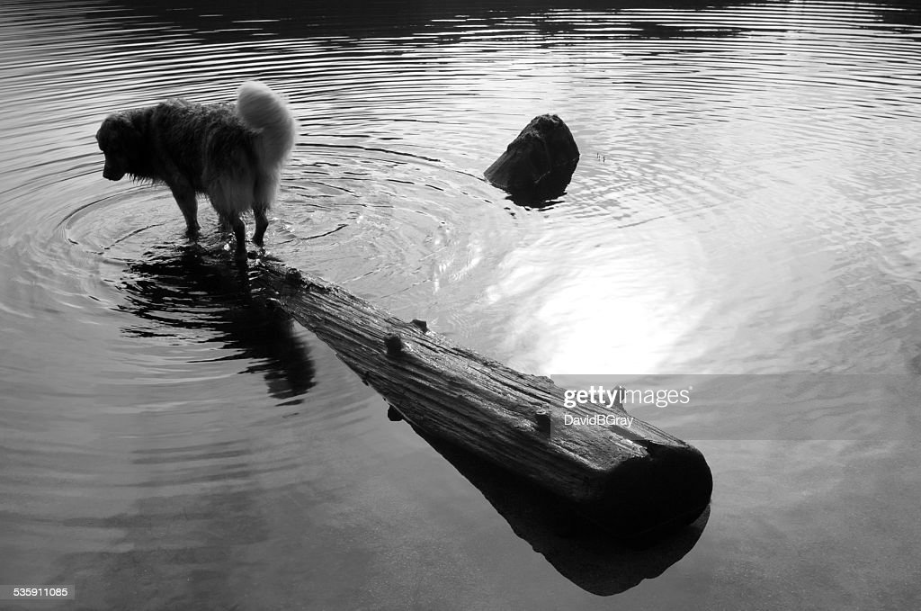 Funny dog balancing on a log in a lake. Monochrome. : Stock Photo