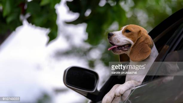 A funny Dog in car window ,Beautiful cute dog beagle travels in the car and Green nature background .