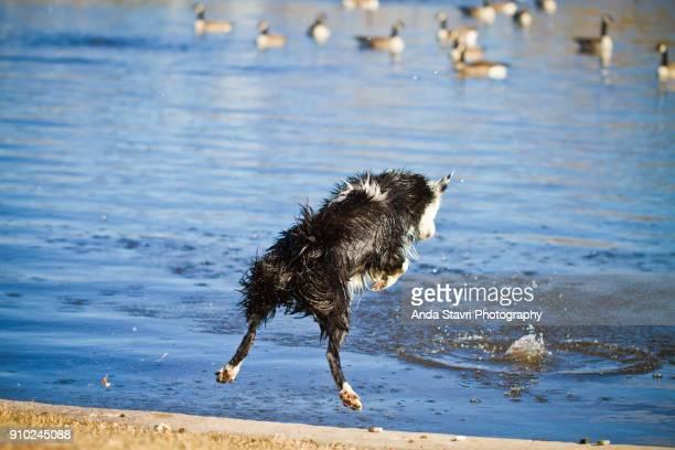 funny dog jumping in pond with geese - kanadagans stock-fotos und bilder