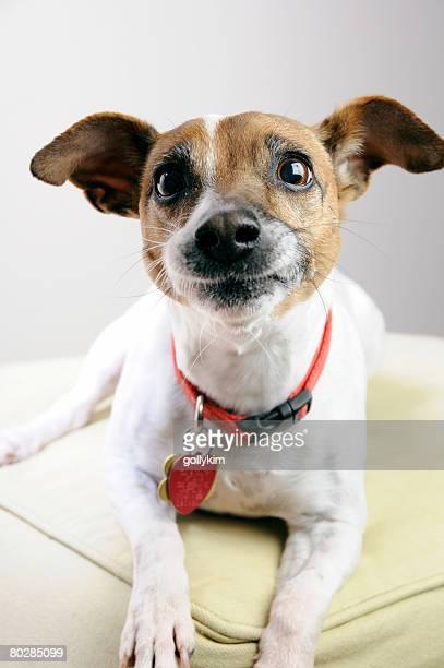 funny dog - jack russell terrier - fotografias e filmes do acervo
