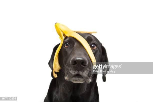 funny dog - casca de banana - fotografias e filmes do acervo