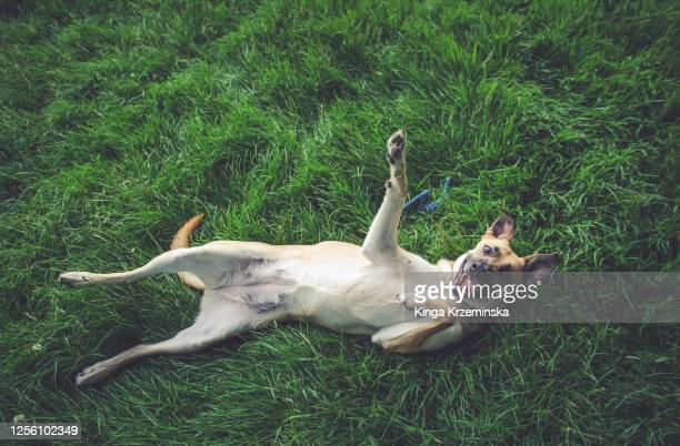 funny dog relaxing on the grass - alternative pose stock pictures, royalty-free photos & images