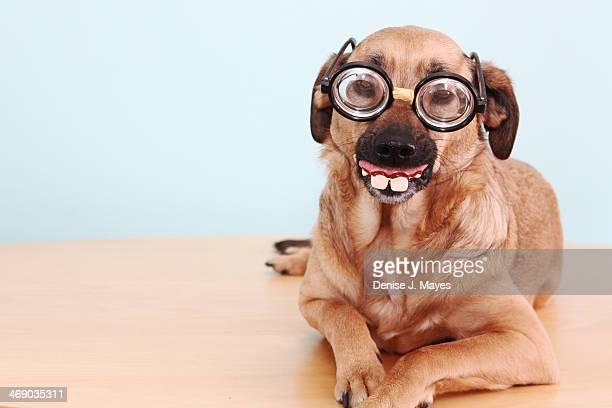 funny dog with a disguise - buck teeth - fotografias e filmes do acervo