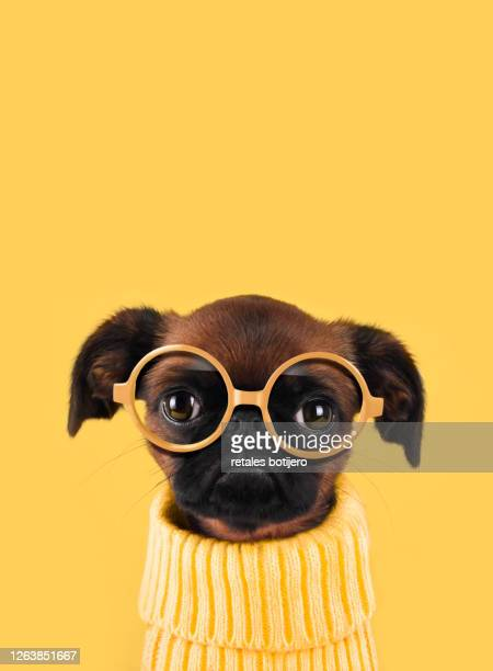 funny dog with glasses - funny animals stock pictures, royalty-free photos & images