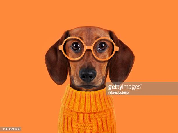 funny dog with orange glasses - animal stock pictures, royalty-free photos & images