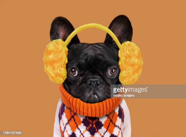 funny dog with plush earmuffs - one animal stock pictures, royalty-free photos & images