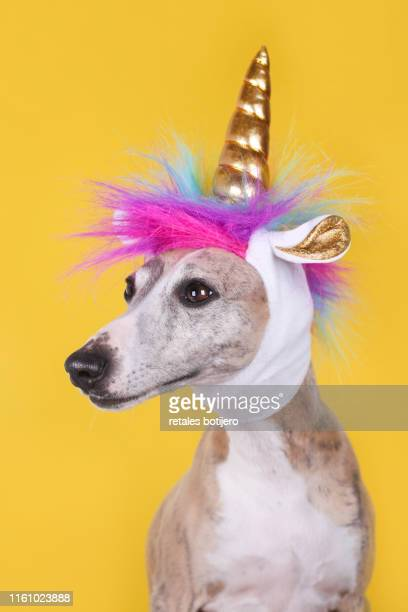 funny dog with unicorn hat - pet -studio stock photos and pictures