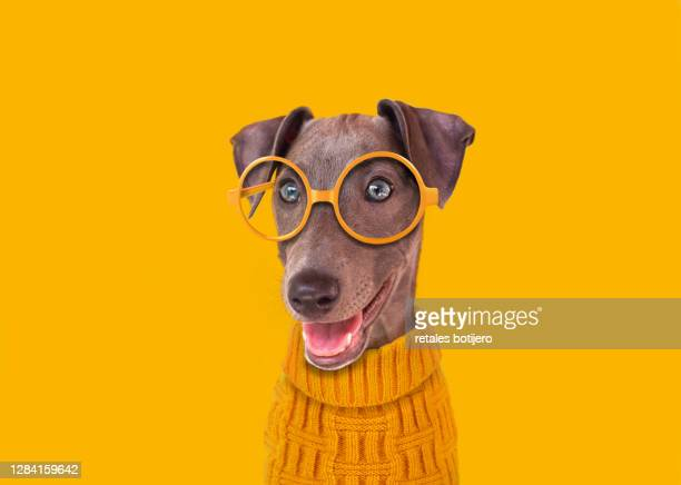 funny dog with yellow glasses - funny animals stock pictures, royalty-free photos & images