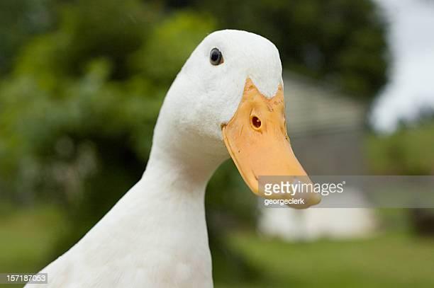 anatra divertente - anatra uccello acquatico foto e immagini stock