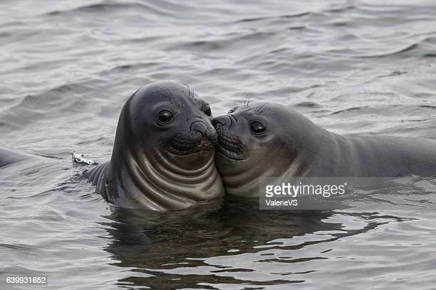 Funny elephant seals