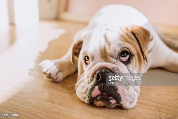 funny english bulldog - seeing eye dog stock photos and pictures