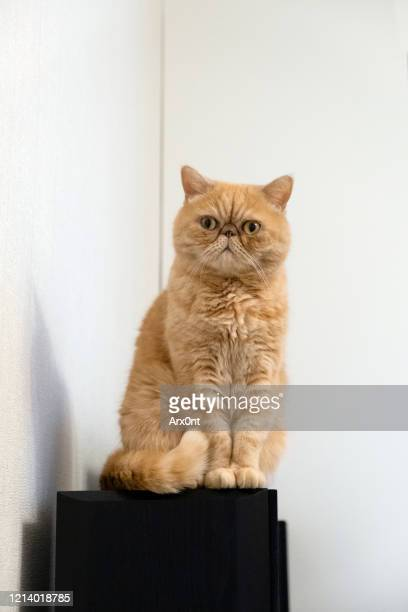 funny exotic shorthair cat - shorthair cat stock pictures, royalty-free photos & images