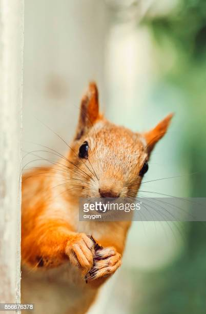 Funny face of Squirrel in a open window