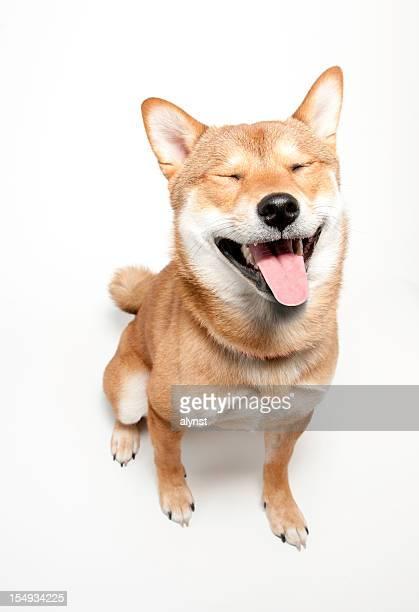 cão engraçado confrontados shiba inu - dogs - fotografias e filmes do acervo