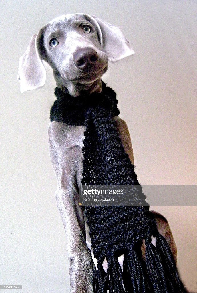 Funny Faced Weimaraner Wearing Scarf Stock Photo - Getty Images