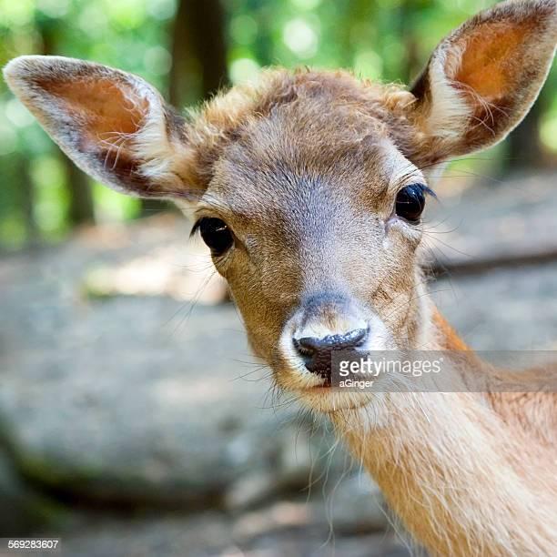 Funny fallow deer