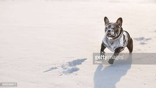 funny french bulldog with snow on his face - funny snow stock photos and pictures