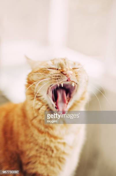 Funny Ginger cat with tongue