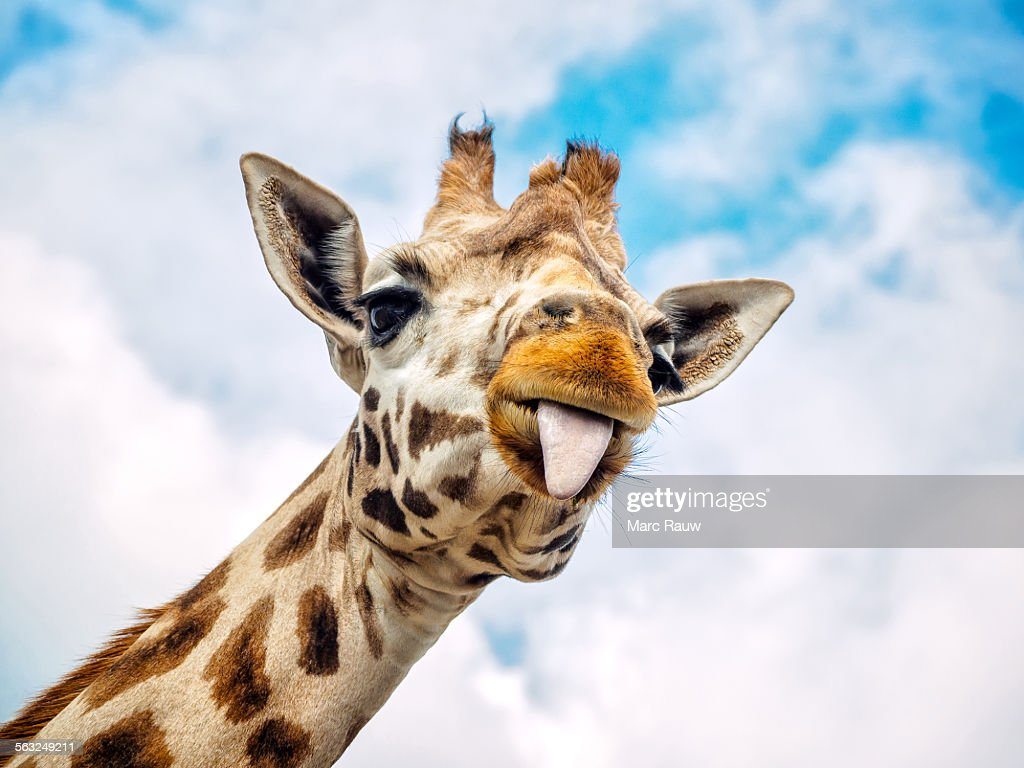 Funny giraffe : Stock Photo