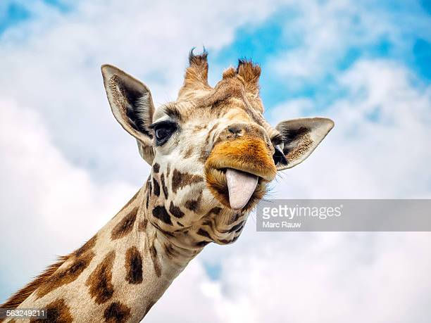 funny giraffe - animal themes stock pictures, royalty-free photos & images