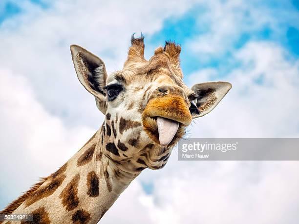funny giraffe - girafe photos et images de collection
