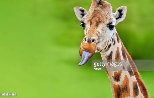 funny giraffe sticks out tongue - giraffe stock pictures, royalty-free photos & images