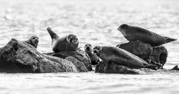 Funny Group of Harbor Seals on Rocks Looking at Camera on Long Island Beach