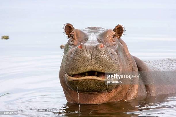 Lustige Hippo
