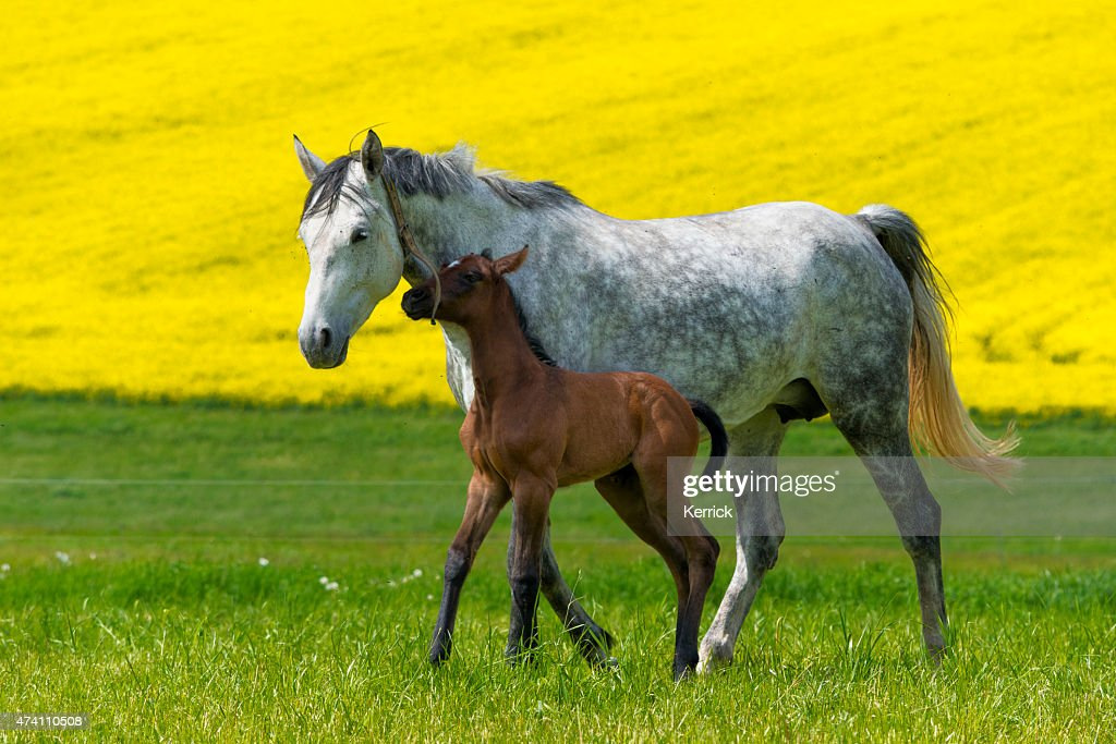 Funny Horse Foal Playing On Pasture With Mother Mare High Res Stock Photo Getty Images