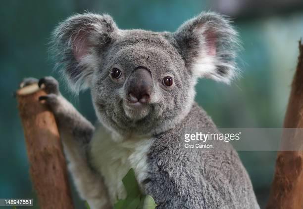 funny koala looking at camera - koala photos et images de collection