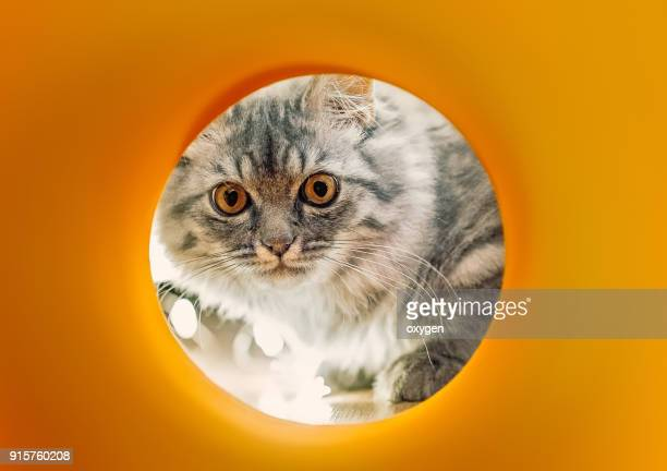 funny little gray cat looks into the yellow pipe - hairy balls stock photos and pictures