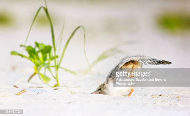 funny little tern chick with face in sand at nickerson beach, long island - rookery stock pictures, royalty-free photos & images