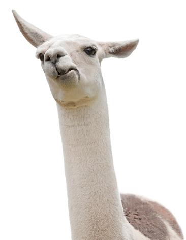 Funny Llama isloated on white 635978764