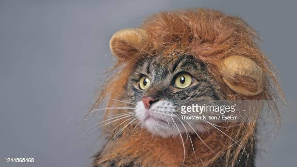 funny maine coon cat in lion costume looking sideways. isolated on gray with copy space. - トラ猫 ストックフォトと画像