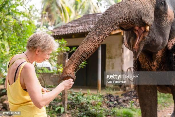 ¡una reunión divertida! feliz y activa mujer blanca caucásica de 55 años, turista, alimentando y acariciando al elefante doméstico en un pequeño pueblo de sri lanka. - 50-59 years and women only fotografías e imágenes de stock
