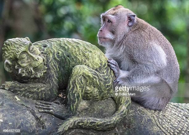 funny monkey - didier marti stock photos and pictures