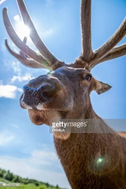Funny Moose Close Up Portrait