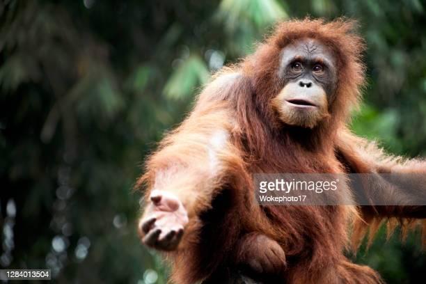 funny orang utan - orangutan stock pictures, royalty-free photos & images