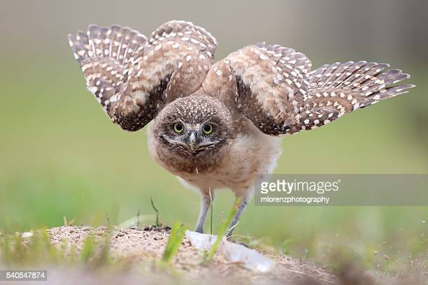 Funny Owlet